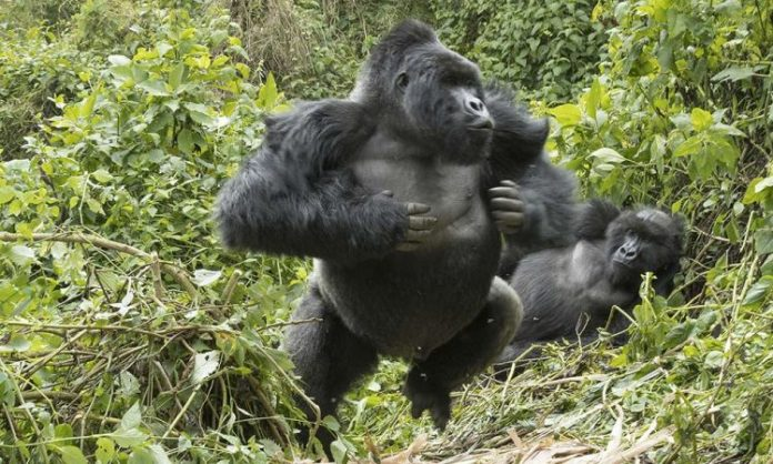 Gorilla Charges